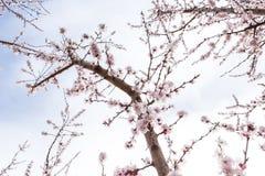 Fleurs roses de pêche contre le ciel bleu-clair Image stock