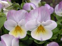 Fleurs roses de pensée Photo libre de droits
