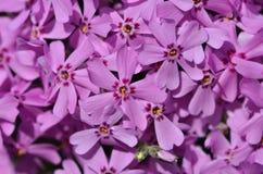 Fleurs roses de phlox Couleurs d'été Photos libres de droits