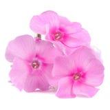 Fleurs roses de phlox d'isolement sur le fond blanc Photo libre de droits