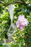Fleurs roses de pivoine dans un pot en verre Photos stock