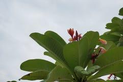 Fleurs roses de Plumeria Image libre de droits