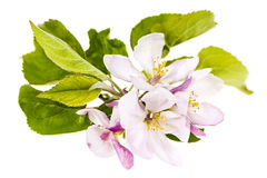 Fleurs roses de pomme Photographie stock