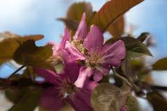 Fleurs roses de pomme Photo stock