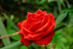 Fleurs roses de ressort Photo stock