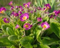 Fleurs roses de ressort dans le jardin Primevère ou primevère de floraison images stock