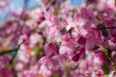 Fleurs roses de ressort sur un arbre Photographie stock libre de droits