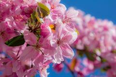 Fleurs roses de ressort sur un arbre Image libre de droits