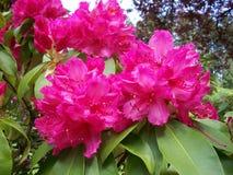 Fleurs roses de rhododendron Photos stock