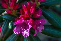Fleurs roses de rhododendron environ à éclater dans la fleur photo stock