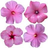 4 fleurs roses de rose trémière Photographie stock libre de droits