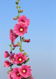 Fleurs roses de rose trémière (rosea d'Althaea) Photographie stock