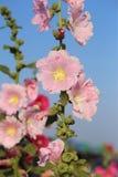 Fleurs roses de rose trémière (rosea d'Althaea) Photographie stock libre de droits