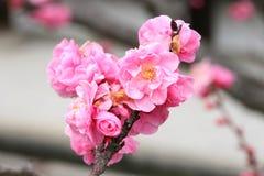 Fleurs roses de sakura Photo libre de droits