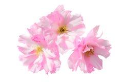 Fleurs roses de Sakura d'isolement sur le blanc Photographie stock libre de droits