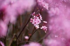 Fleurs roses de Sakura dans la fleur, détail photo libre de droits