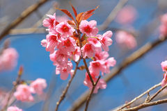 Fleurs roses de Sakura en Thaïlande image stock