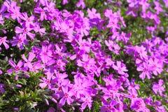 Fleurs roses de source photos libres de droits