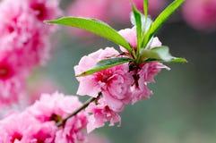 Fleurs roses de source image libre de droits