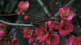 Fleurs roses de fleurs sur les branches Plum Tree Doigts touchant des fleurs banque de vidéos