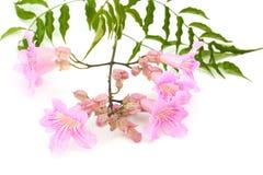 Fleurs roses de tekoma Photos libres de droits