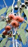 Fleurs roses de tre de gomme avec des abeilles Images stock