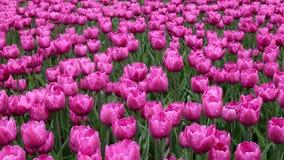 Fleurs roses de tulipe en parc Photos stock