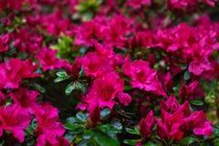 Fleurs roses du rhododendron, azalée comme fond de nature images libres de droits
