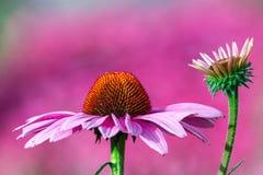 Fleurs roses, Echinacea, Echinacea dans le jardin Photographie stock libre de droits