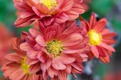 Fleurs roses en automne Photo stock