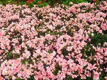 Fleurs roses en Chiang Rai Photographie stock