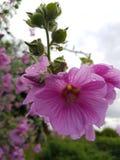 Fleurs roses et araignée verte Photographie stock libre de droits