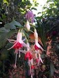 Fleurs roses et blanches Photo libre de droits