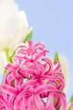 Fleurs roses et blanches Photographie stock libre de droits