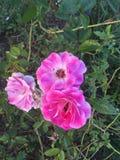 Fleurs roses et blanches Image libre de droits
