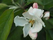 Fleurs roses et blanches d'Apple Photo stock