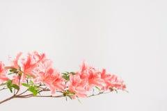 Fleurs roses et blanches d'azalée Photos libres de droits