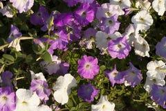 Fleurs roses et blanches de pétunia Photos libres de droits