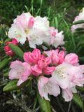Fleurs roses et blanches de rhododendron Photo stock