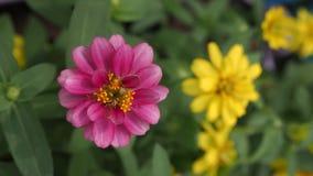 Fleurs roses et jaunes de Zinnia dans une rangée Image libre de droits