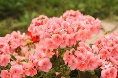 Fleurs roses, fleur de géranium Photo libre de droits
