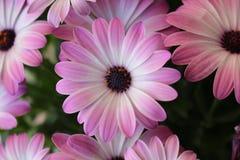 Fleurs roses, fleur violette gentille Photographie stock libre de droits