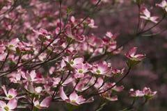 Fleurs roses fleurissantes de cornouiller de source Photos stock