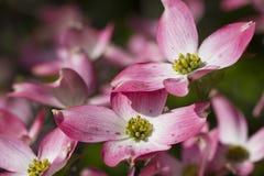 Fleurs roses fleurissantes de cornouiller de source Image stock