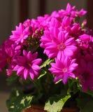 Fleurs roses foncées Photo libre de droits