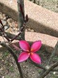Fleurs roses foncées attrayantes de Frangipani ou de Plumeria Photographie stock