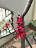 Fleurs roses foncées attrayantes de Frangipani ou de Plumeria Photo libre de droits