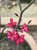 Fleurs roses foncées attrayantes de Frangipani ou de Plumeria Image stock