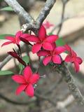 Fleurs roses foncées attrayantes de Frangipani ou de Plumeria Photos stock