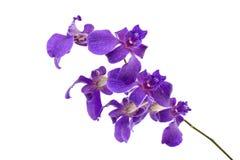 Fleurs roses foncées d'orchidée d'isolement sur le fond blanc Images libres de droits